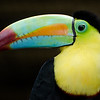 Rainbow-mandibiled Toucan