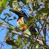 collared araçari (Pteroglossus torquatus)