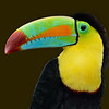 Keel-billed Toucan or Rainbow-billed Toucan