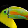 Rainbow-mandibled Toucan.