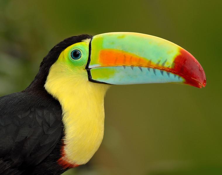 Keel-billed Toucan or Rainbow-billed Toucan