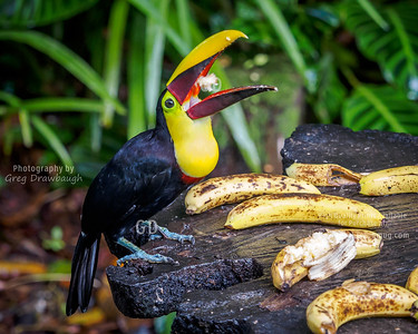 Yellow-throated Toucan