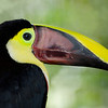 Chestnut-mandibiled Toucan