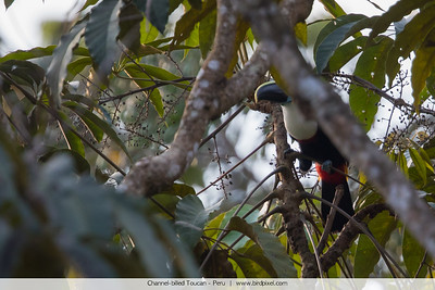 Channel-billed Toucan - Peru