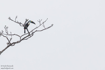 Channel-billed Toucan - Amazon, Ecuador