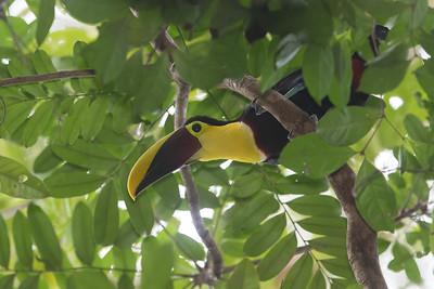 Black-mandibled Toucan - Barro Colorado Island, PA