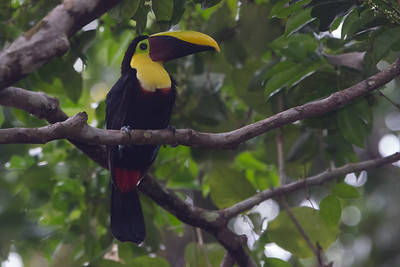 Black-mandibled Toucan - Barro Colorado Island, PA