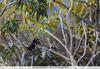 Chestnut-eared Aracari -  Peru