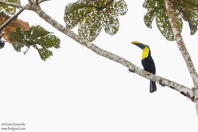 Choco Toucan - Pacto, Ecuador