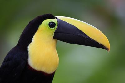 Choco Toucan Portrait - Mindo, Ecuador