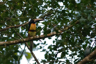 Collared Aracari - Selva Verde, Costa Rica