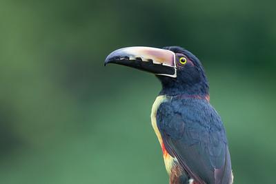 Collared Aracari - Alajuela, Costa Rica