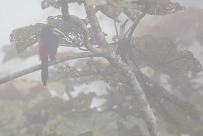 Collared Aracari in the fog - Pacto, Ecuador