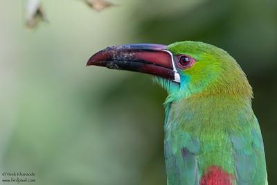 Crimson-rumped Toucanet - Mashpi, Ecuador