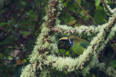 Emerald Toucanet (Blue Throated) - Guadalupe, Panama