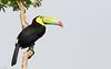 Keel-billed Toucan - Gamboa Rainforest Resort, Gamboa, Panama