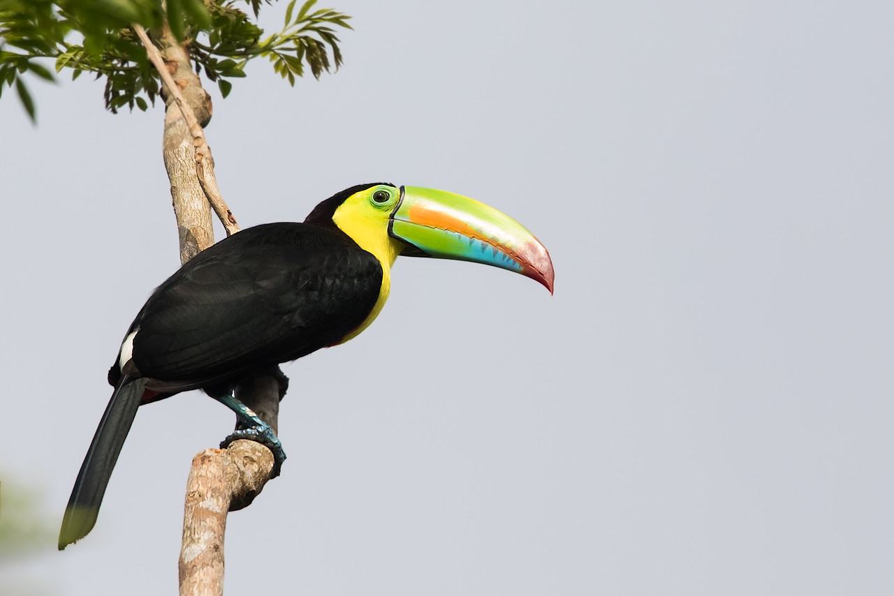 Keel-billed Toucan - Gamboa Rainforest Resort, Gamboa, Panama