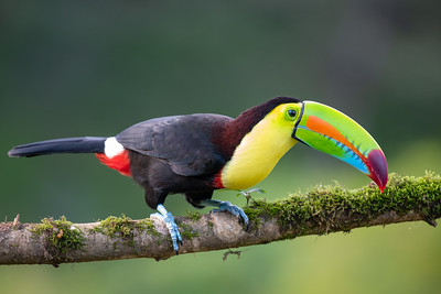Keel-billed Toucan - Alajuela, Costa Rica