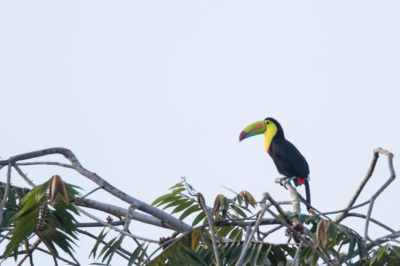 Keel-billed Toucan - Summit Ponds, Colon, Panama