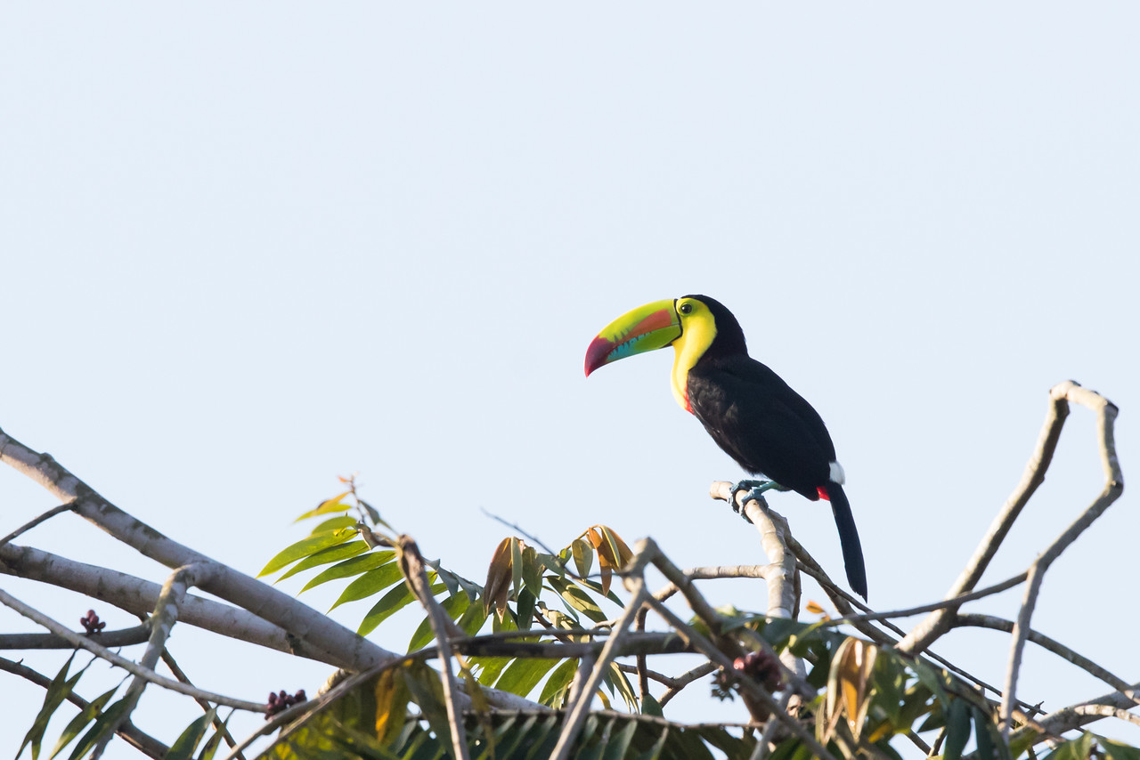 Keel-billed Toucan - Summit Ponds, Colon, Panama