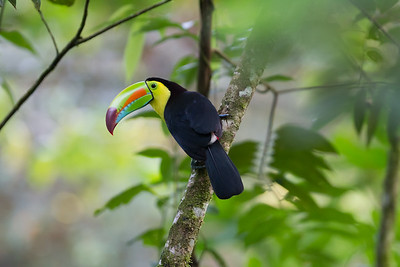 Keel-billed Toucan - Selva Verde, Costa Rica