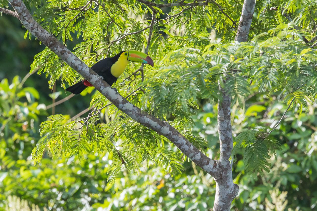 Keel-billed Toucan - Chiquibul National Park & Reserve, Belize