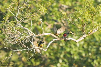 Many-banded Aracari - Amazon, Ecuador