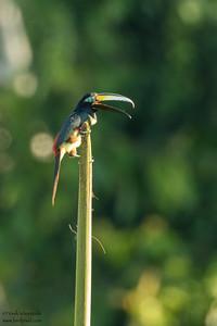 Many-banded Aracari - Amazon, Ecuador
