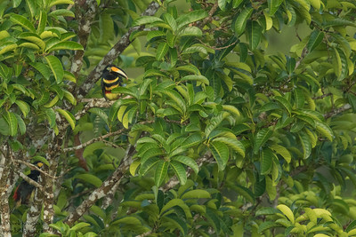 Many-banded Aracari - Record - Amazon, Ecuador
