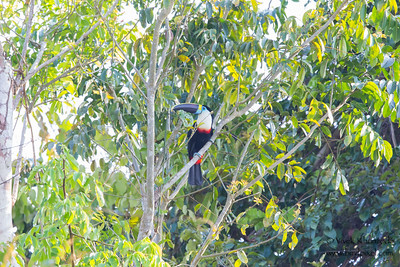White-throated Toucan - Record - Oxbow lake near Tambo Blanquillo Lodge, Peru