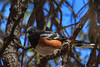 Spotted Towhee (b2551)
