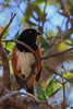 Spotted Towhee (b2552)