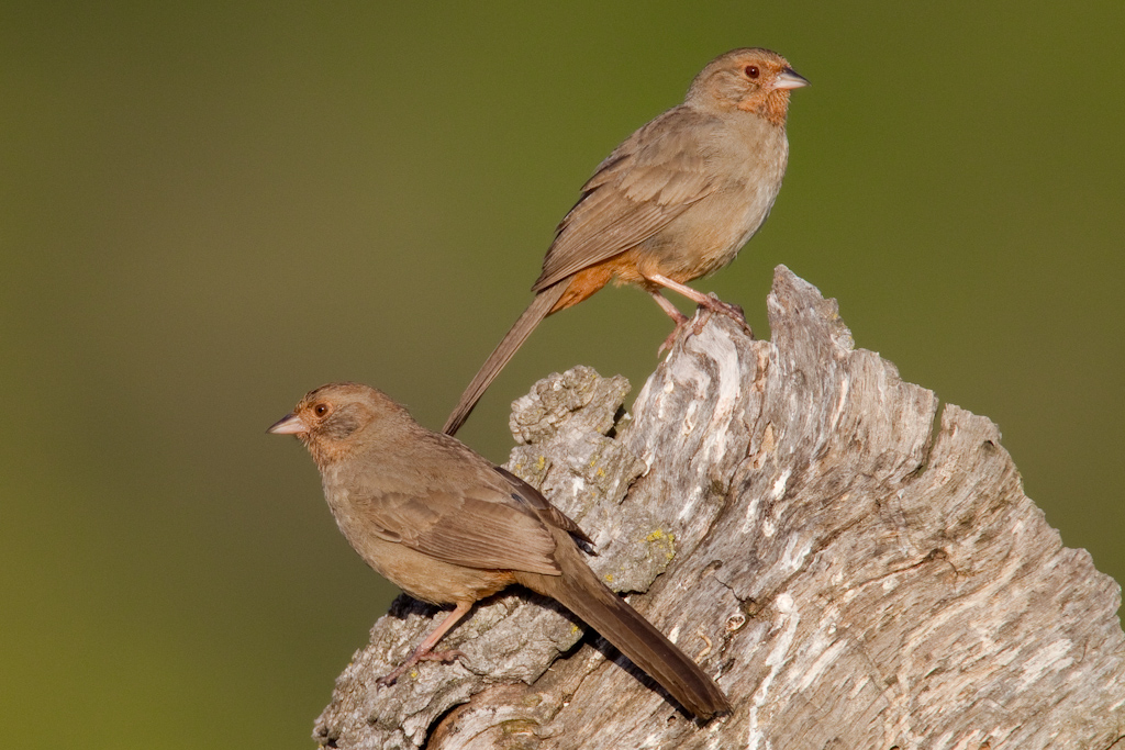 California Towhees