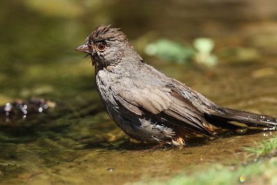 California Towhee bathing