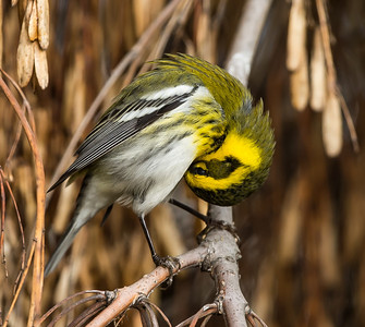 Townsend's Warbler looking for ingenuity and humanity to rise to the occassion.
