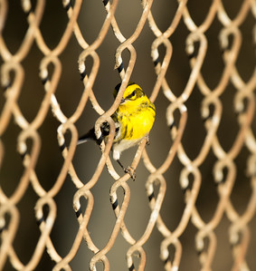 Townsend's Warbler female pushed out of the Sepulveda Basin's South Reserve, and is now up against the fence to the North. 3-Jan-2013.
