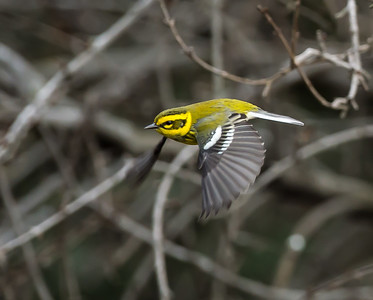 Townsend's Warbler requires forest density