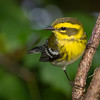 Townsend's Warbler
