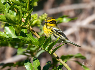 Townsends Warbler