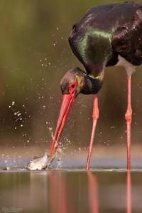 Svart stork