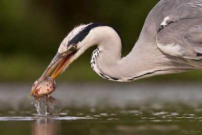 Gråhäger som fiskar