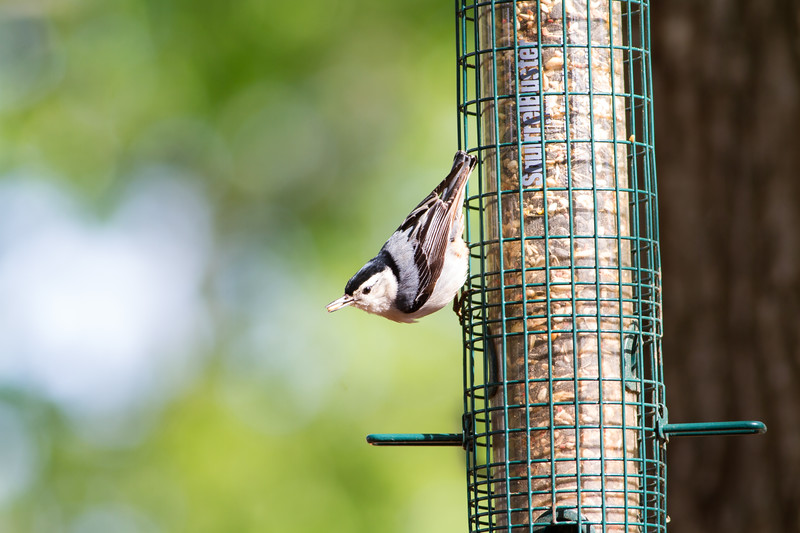 "White-breasted Nuthatch (Sitta carolinensis)<br /> Charleston, South Carolina<br /> April 8, 2018<br /> <br /> #SashaAzevedo #artist #photographer<br /> #author #inspiration #animallover #epilepsyadvocate<br /> #model #actor #TheNotebook #ArmyWives #athlete #adventureseeker<br /> #RayofSunshine #ENFJ #May20 #Taurus #CarpeDiem #LifeIsAGift<br /> <br /> ------------------------------------------------------<br /> ""Life is a gift. Never take it for granted.""<br /> —♥ Sasha Azevedo"