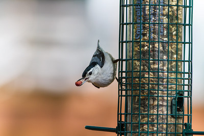 White-breasted Nuthatches