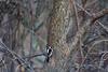 <center>Downy Woodpecker<br><br>Trustom Pond National Wildlife Refuge<br>South Kingstown, Rhode Island</center>