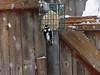 <center>Downy Woodpecker<br><br>Backyard Suet Feeder<br>North Providence, Rhode Island</center>