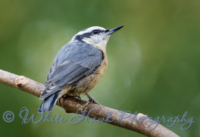 2016-08-22 - Red-Breasted Nuthatch