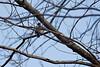 <center>Downy Woodpecker<br><br>Fort Wildlife Refuge<br>North Smithfield, Rhode Island</center>