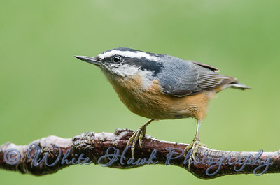 2016-10-16 - Red-Breasted Nuthatch