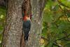 <center>Red Bellied Woodpecker<br><br>Claire D. McIntosh Wildlife Refuge<br>Bristol, Rhode Island</center>