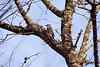 <center>Red Breasted Woodpecker<br><br>Trustom Pond National Wildlife Refuge<br>South Kingstown, Rhode Island</center>